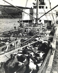 Kawaihae Harbor, Hawaii, 1930s. On their way to market, these cows first had to swim from shore to the ship to be loaded by hoist at Kawaihae Harbor on the SS Humuula.