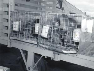 Animals await travel in Pan American Cargo Building, Honolulu International Airport, 1950s.