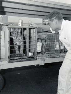 Baby Tigers in Transit through Honolulu International Airport, 1960s.