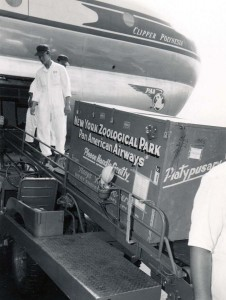 Platypusary crate from New York Zoological Gardens is boarded on a Pan American Airways plane at Honolulu Airport, 1949.