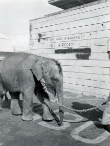 Baby Elephant in Transit at Honolulu International Airport, 1960s.